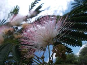 hiolkovaia akaciia